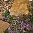 Creeping thyme growing between the granite pavers.  The granite now has a finish on them from our hard/rusty cabin water which has enhanced there usefulness as they are no longer slippery when wet like they were when I first laid the pavers.