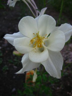 1.  White columbine in the garden is a welcome addition.