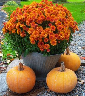 Love those colors...used an old galvanized coal bucket for planter and our sole 3 pumpkins  from our very 1st crop (wet summer!) as companions.